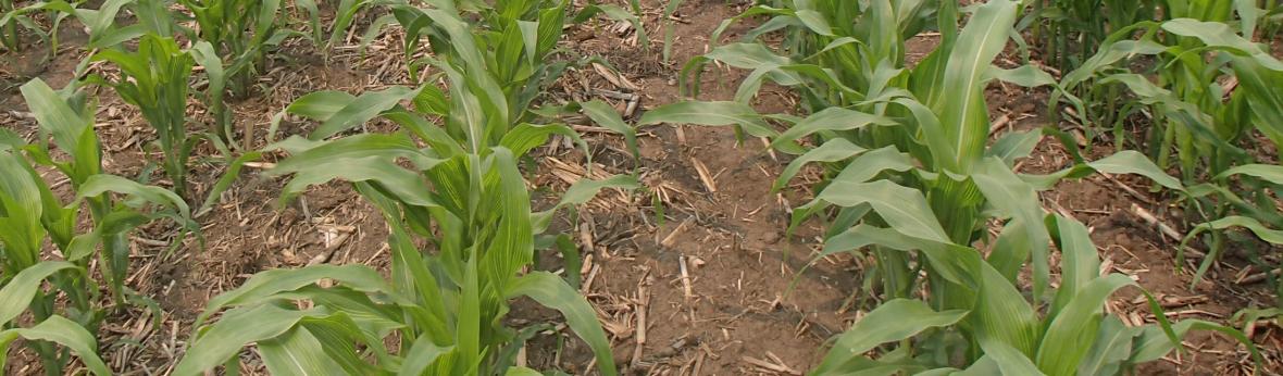 Corn rows banner image