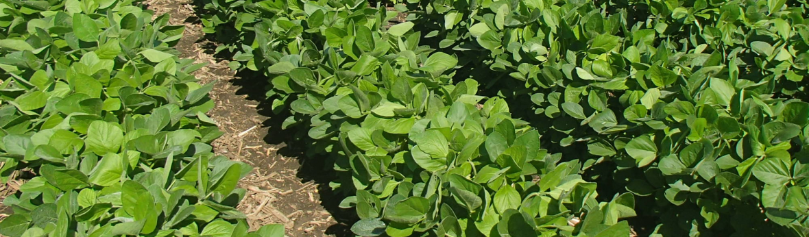 Soybean rows banner image