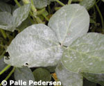 Photograph of a plant with powdery mildew