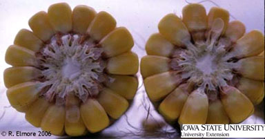 Photograph of corn, comparing number of rows in each ear