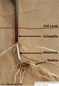 Photograph of coord seedling root with each part labeled