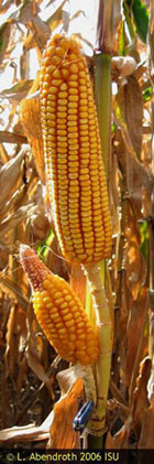Another photograph of corn that has two ears growing from the same node