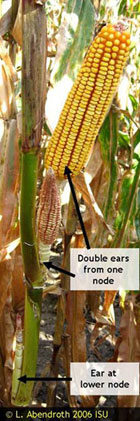 Photograph of corn that has two ears growing from the same node