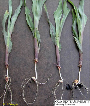 Photograph of corn with rootless corn syndrome