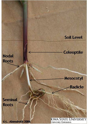 Diagram of corn roots
