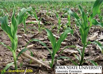 Photograph of an example of unevenly growing corn