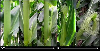 Photograph of corn in the vegetative state and at the beginning of the reproductive stage