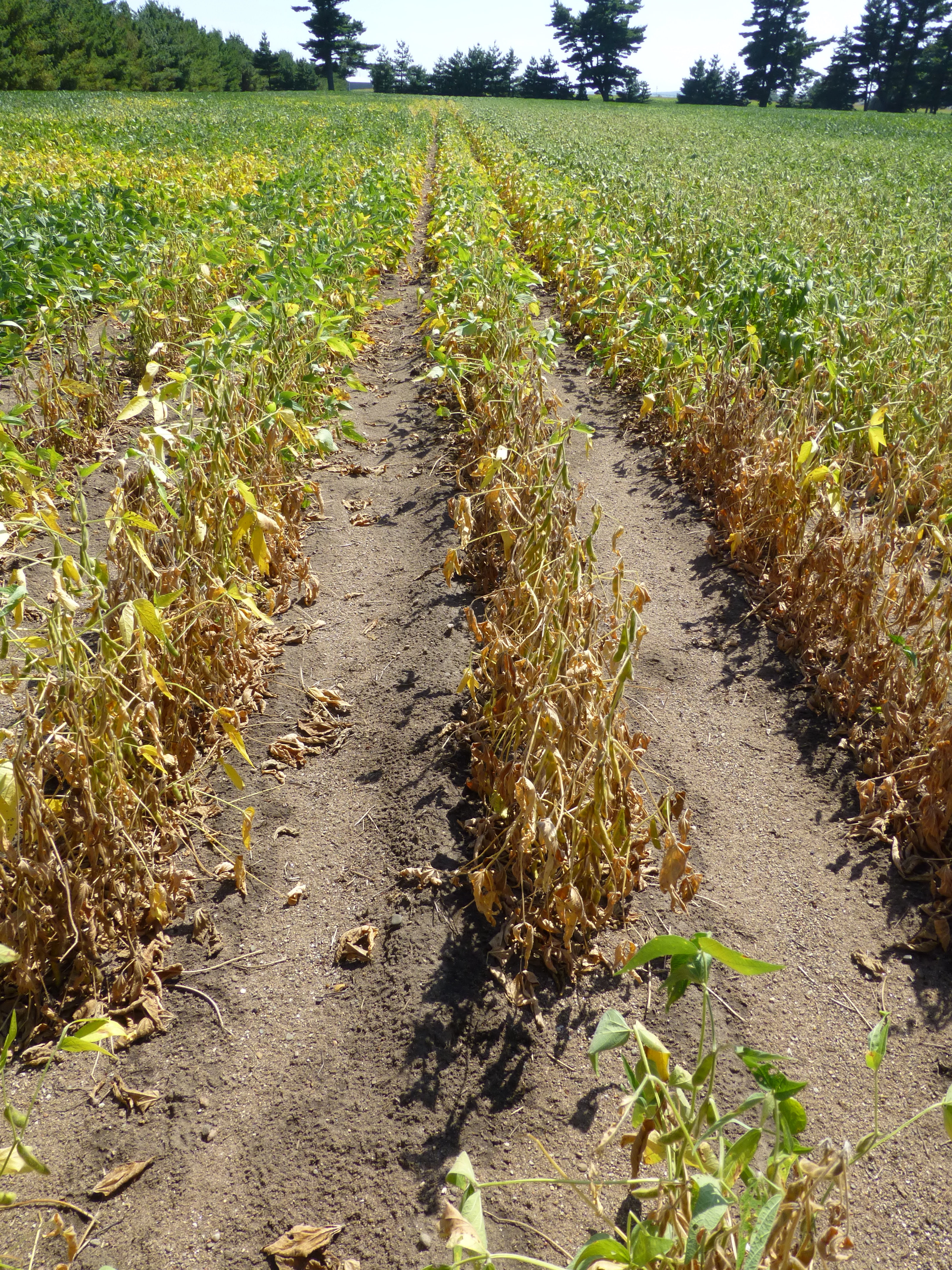 8 facts about charcoal rot in soybean | Integrated Crop