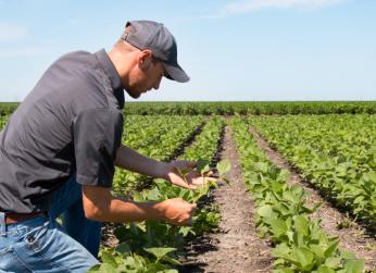man looking soybeans in field