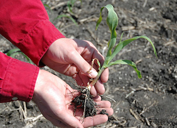 small corn plant in hands
