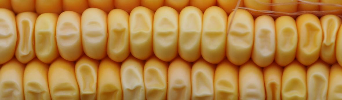 corn landing
