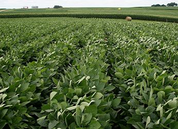 soybeans growing in field