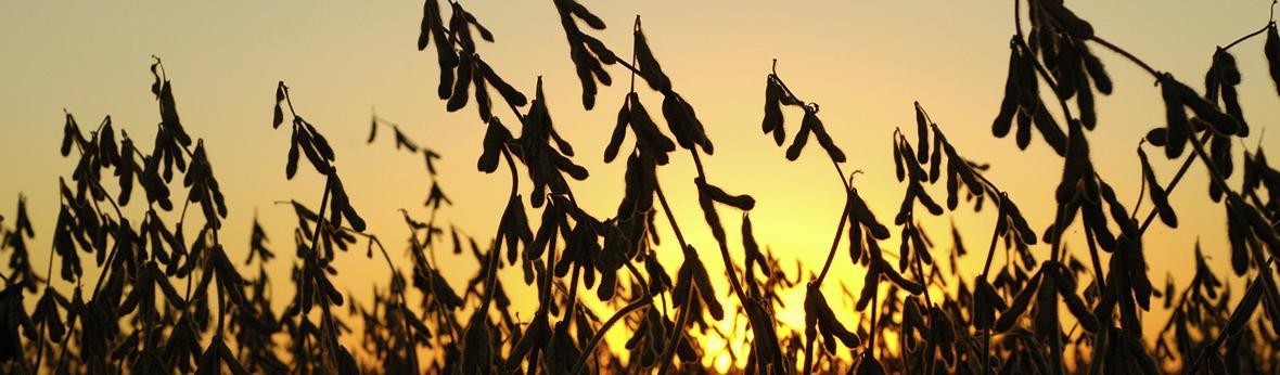 soybean landing