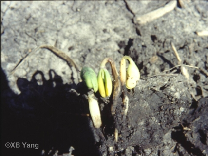 pre-emergence damping off