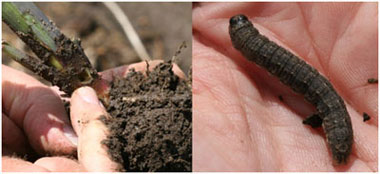 black cutworm