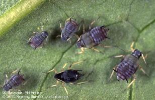 cow pea aphid