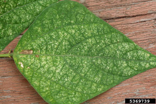 figure 2 spider mite damage