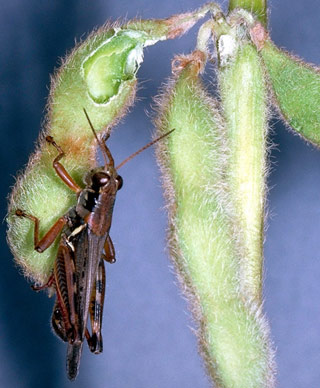figure 3 grasshoppers on soybean