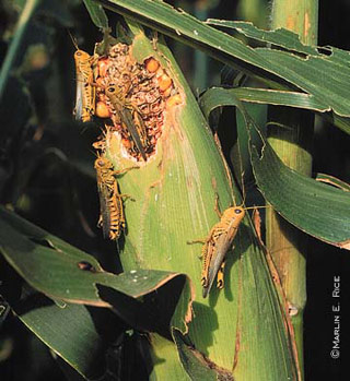 figure 4 grasshoppers on corn