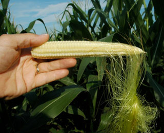 figure 3 husked corn ear with several silks