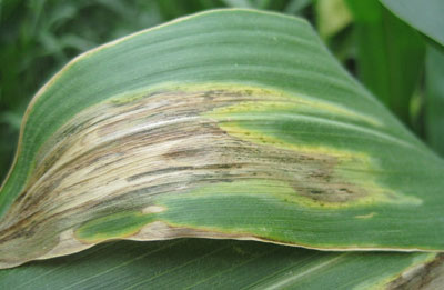 leaf blight symptoms of goss's wilt