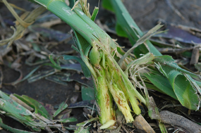 Damaged Corn