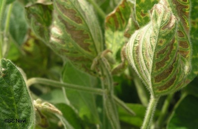 Sudden Death Syndrome in Soybean