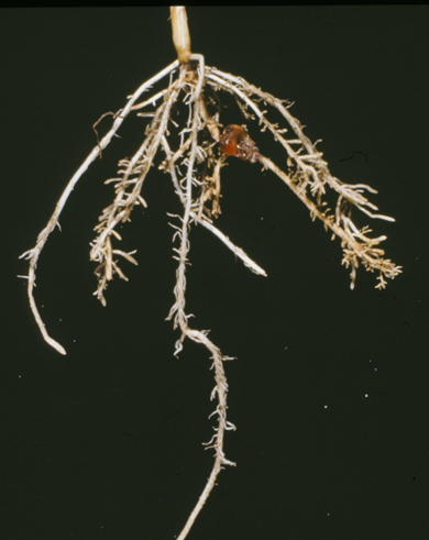 needle nematode damage