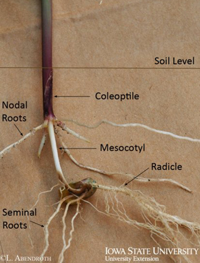 corn root development