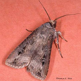 black cutworm adult moth