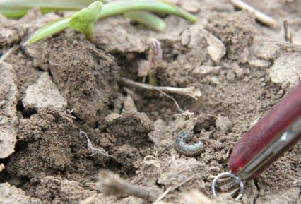black cutworm larvea on soil
