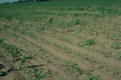 nematode damage to corn