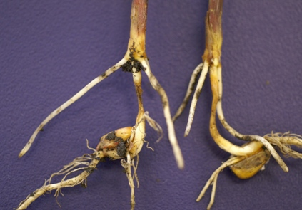 seedling blight