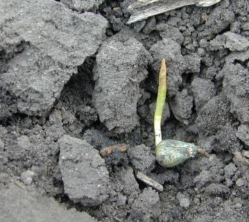 damaged corn seedling