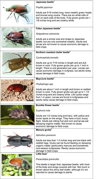 Is It Japanese Beetle In The Field Or Something Else