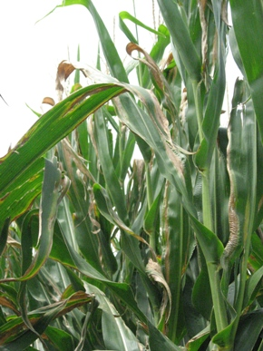 goss's wilt leaf blight symptoms