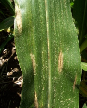 northern leaf blight cigar shaped lesions