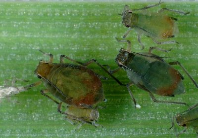 bird cherry-oat aphids