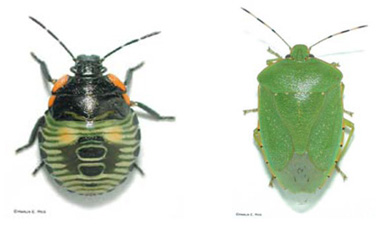 Stink Bugs on the Move | Integrated Crop Management