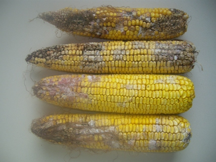 types of mold on corn