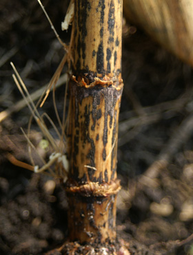 anthracnose stalk rot