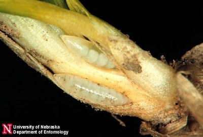 hessian fly larvae
