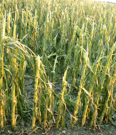 hail damage to crops