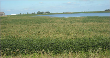 flooded soybean field with severe SDS