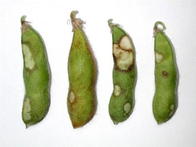 direct injury of bean leaf beetle to soybean pods