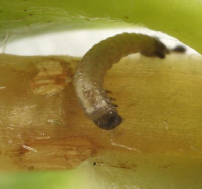 indirect injury of bean leaf beetle larva to soybean roots