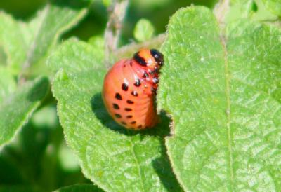 Colorado potato beetle third instar