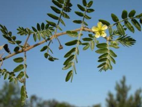 compound leaves and yellow flower