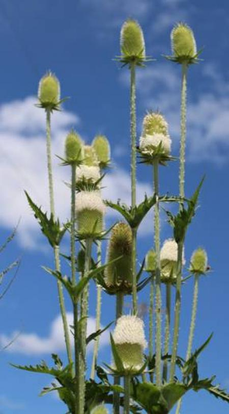 multiple seedheads on spiny stems of cutleaf teasel