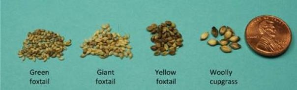 green foxtail seed are smallest of common grasses in crop fields